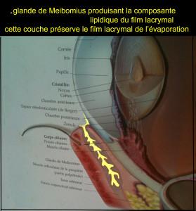 PAUPIERE INF MEIBOMIUS 3 copie
